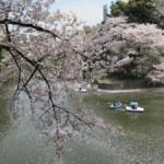 満開の桜をご覧ください!