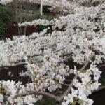 桜咲く うららかな春の訪れ